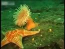 Морская звезда подползает к актинии