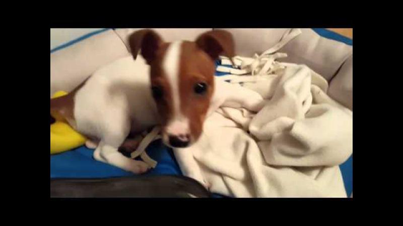 Смешной пёс - Майло Джек Рассел терьер Funny Jack Russell