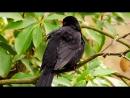 Дрозд чёрный 4 (Turdus merula)