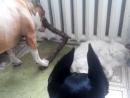 Амстафф и Доберман разодрали кошку жуть ужас