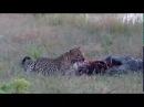 Леопард против болотного крокодила