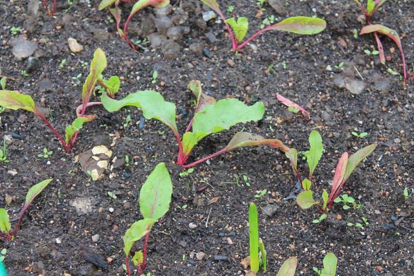 Свекла - посадка свеклы семенами весной
