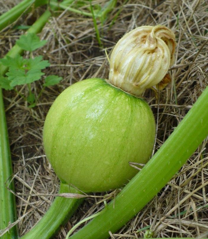 Тыква - выращивание. Как посадить тыкву, если для нее нет грядки
