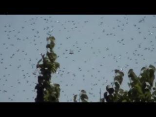 Несметные полчища саранчи атаковали юг России: видео 28 07 2015