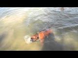 Щенок боксёра учится плавать