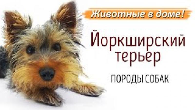 Йоркширский терьер, йорк - породы собак.