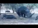 КАК ЛЕТАЛ ДИКИЙ КАБАН! носорог против кабана бои животных - Rhino against a wi