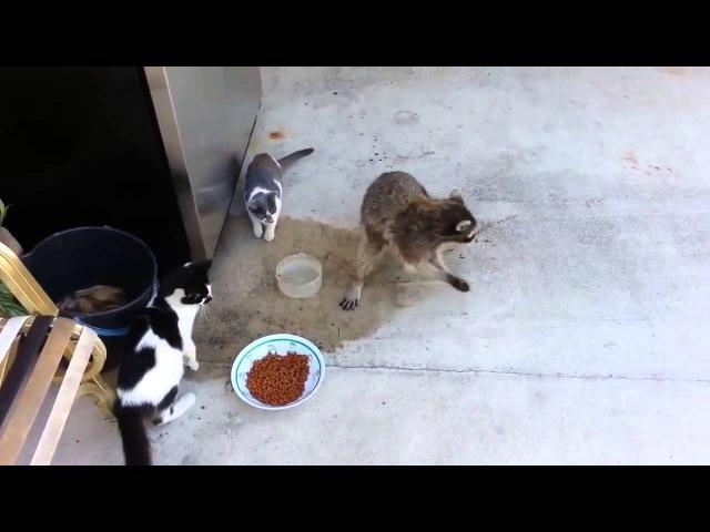 Енот крадет еду у кошек