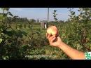 Яблони осенних сортов описание плодоношение в питомнике растений Сад