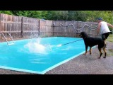 Rottweiler jump in swimming pool - Part 2