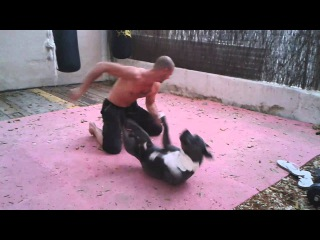 Blue nose pitbull sparing . More on Facebook