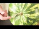 Как Выбрать Арбуз Выбираем спелый вкусный и сладкий арбуз