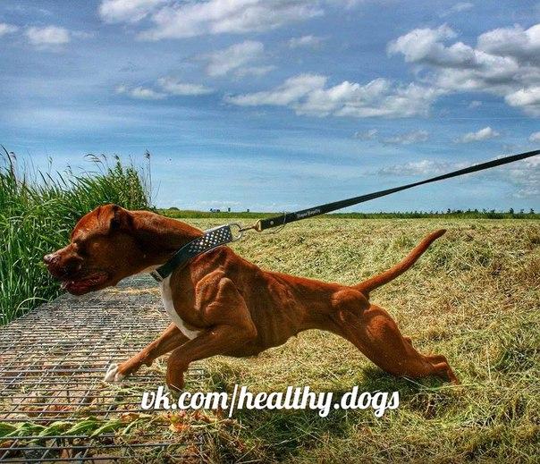 Фото собак в спортивной кондиции - Страница 5 BILl5X0z5m8