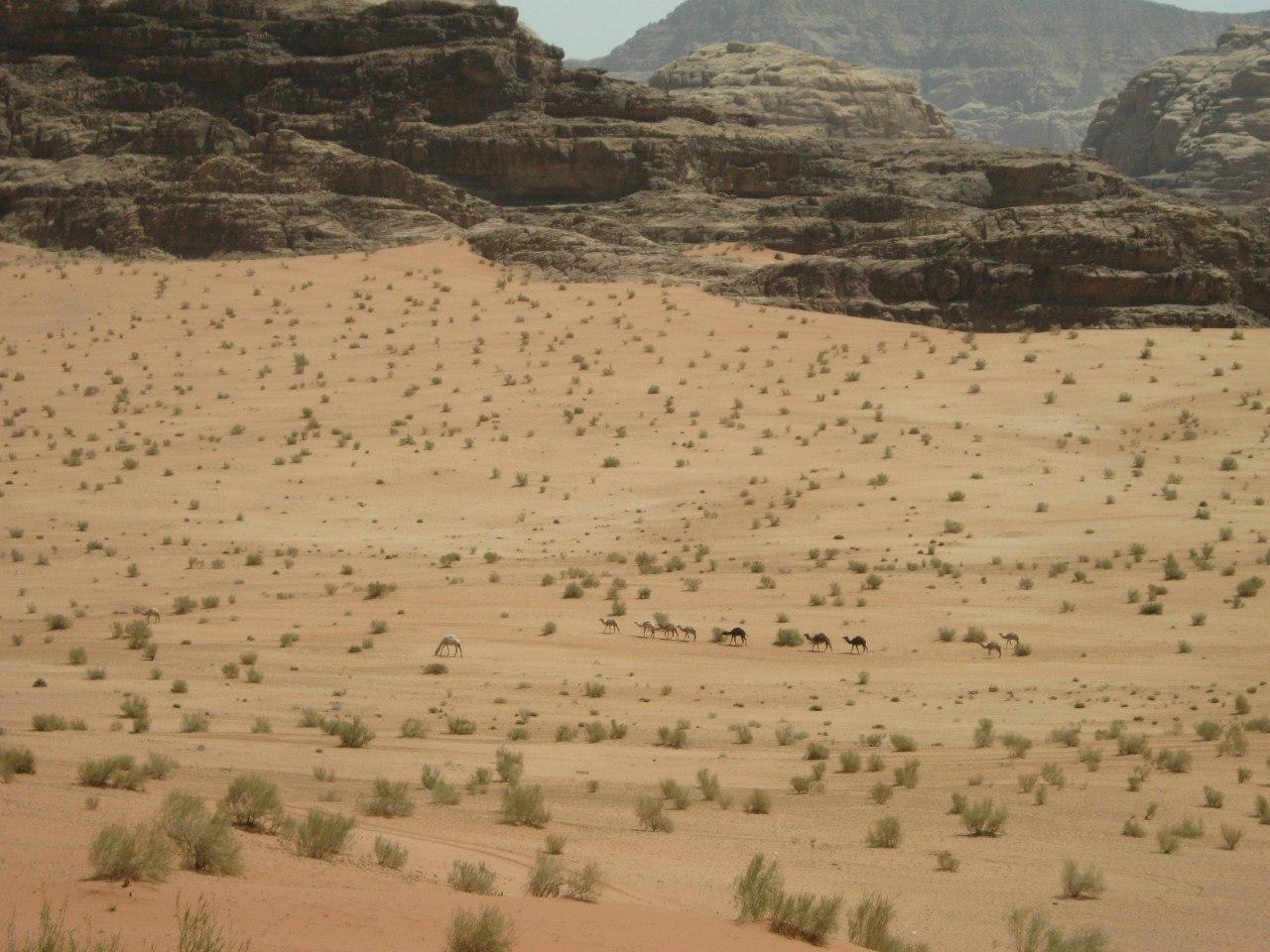 караван верблюдов в Вади Рам