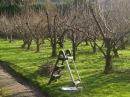 Осенняя обрезка деревьев. Как обрезать яблоню осенью