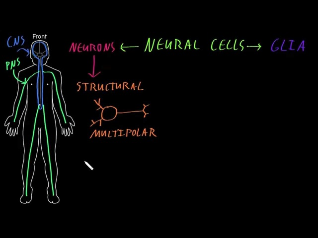 Neural cell types