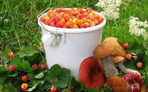 Морошка - царская ягода Русского Севера