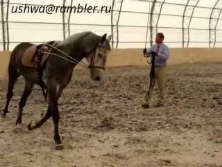орловский рысак, 5 лет_