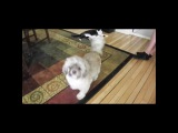 """Animals Video on Instagram: """"Cody, the Screaming Dog ? Video via AFV animals 