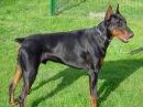 Самая опасная собака в мире породы Доберман пинчер