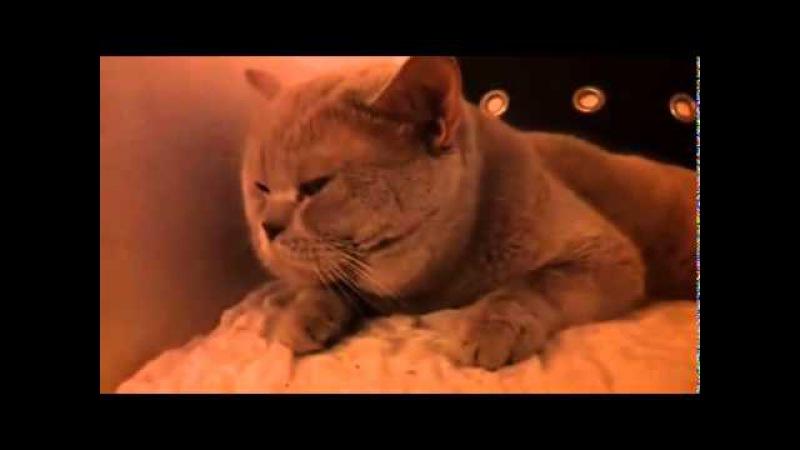 Британский кот разговаривает СМЕШНОЙ КОТИК Невероятно смешной кот