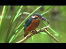 Common Kingfisher. Bird catching a fish. David Attenborough's opinion.