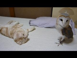 Домашняя сова-сипуха и кошка