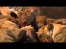 Лучшие бои животных. Жизнь в дикой природе. Ч 3