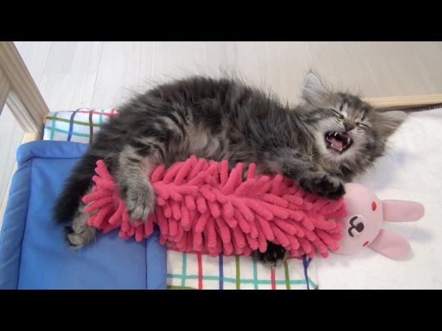 寝言を言いながら人形を抱きしめる子猫 Kitten hugs doll while sleep talking
