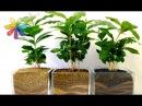 Кофейное дерево секреты выращивания – Все буде добре. Выпуск 665 от 07.09.15