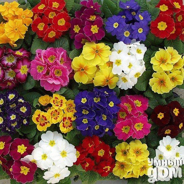 Посадка и пересадка примулы – залог ее успешного роста Яркое и неприхотливое растение – это примула, соцветия которой несомненно украсят любое помещение. Можно встретить множество видов разнообразных по форме и окраске цветов – все они неприхотливы, а для посадки или пересадки примулы в грунт от вас не потребуются особые навыки. Посадка примулы: секреты и хитрости Если у вас растет примула, но вы не знаете, как происходит ее посадка – не переживайте, все не так уж и сложно! Изначально главным…