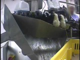 Undercover Investigation at Hy-Line Hatchery