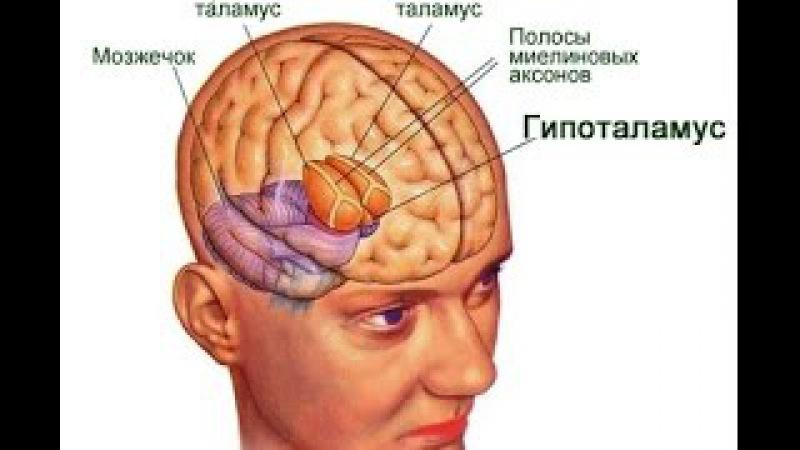 гипоталамус душа человека, таламус, гипофиз - Школы психологии в Сочи от Левченк ...