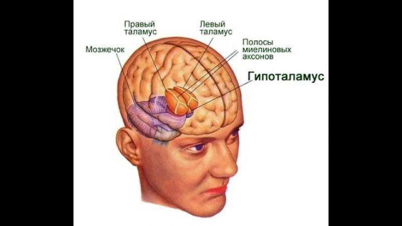 гипоталамус душа человека, - Школы психологии онлайн Левченко Юрия
