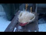 Петух Петя умер [прикольное, видео, смешное, ржачное, новое, угарное, обоссаться, шок, фишка, coub, youtube, вконтакте ]