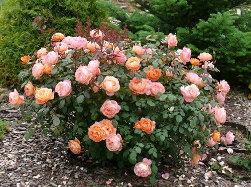Английские розы в ландшафтном дизайне 4