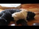 Pomeranian puppy vs Bouvier des Flandres