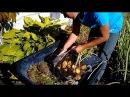 Гигантский картофель в ящике двухметровая ботва и большие клубни