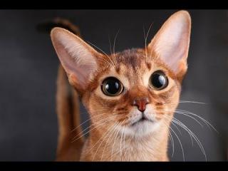 Абиссинская кошка: описание породы №2