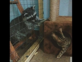 Енот достаёт кота, а за кадром говорящий попугай зовет белку ?