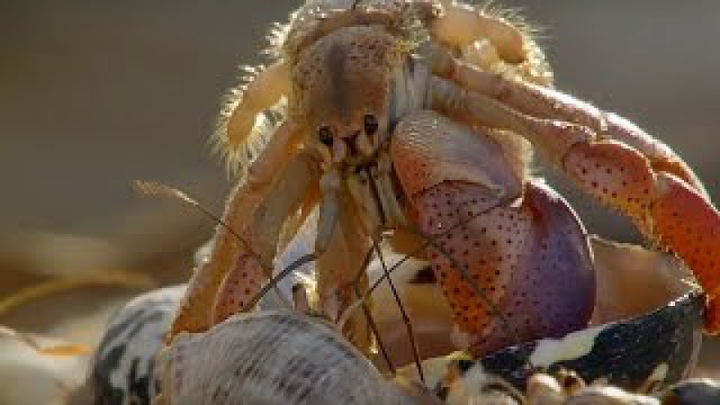Amazing Crabs Shell Exchange   Life Story   BBC
