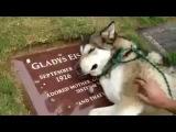 Ручной волк плачет на могиле хозяина