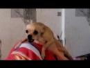 Очень злая маленькая собака!!!!