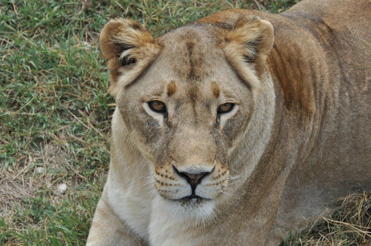 львица в сафари парке Тайган