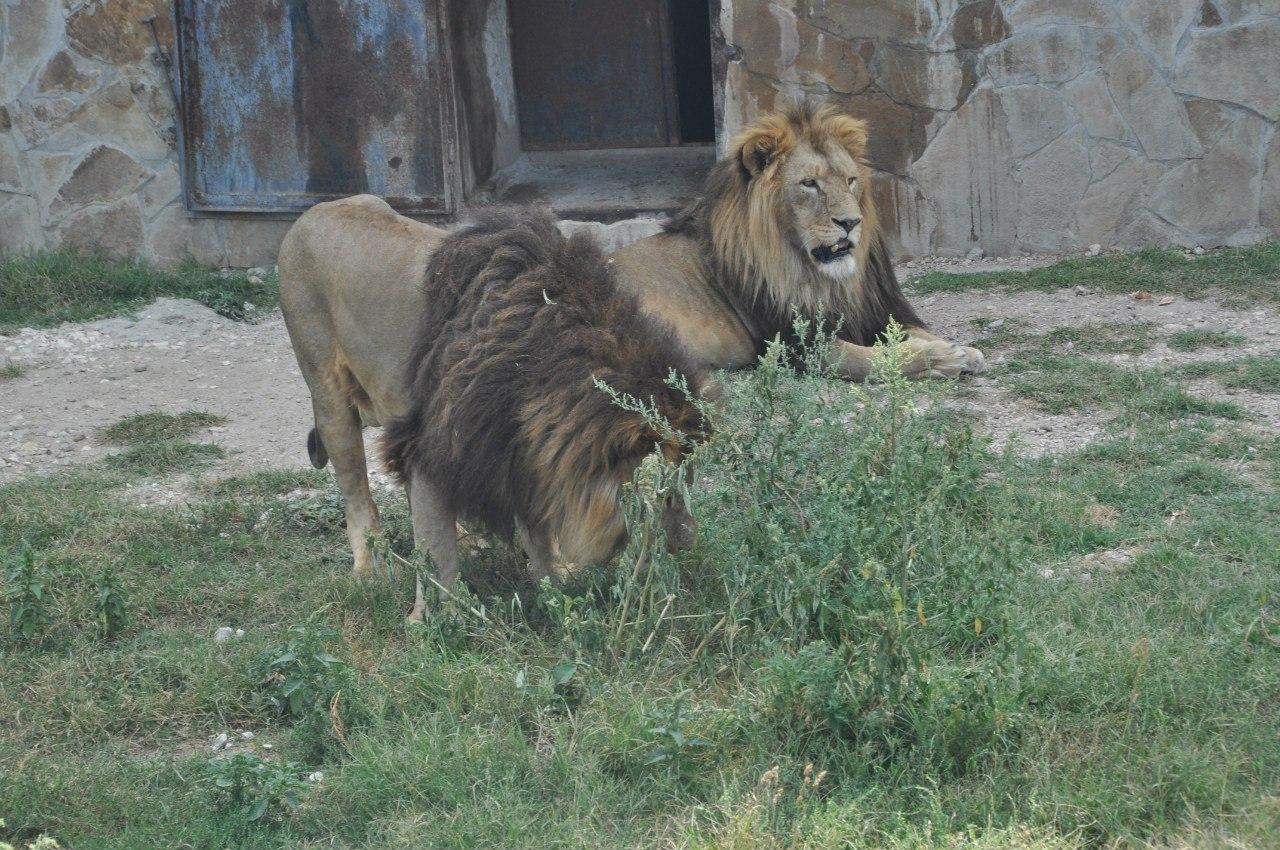 лев в сафари парке Тайган