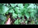 Небольшой обзор дикоросов мая Заготовка трав для лесного супа