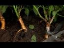 Прививка розы на шиповник или окулировка щитком под кору в средней полосе России