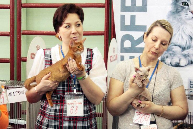 Абиссинские кошки. Питомник КамельРуш. Мурманск