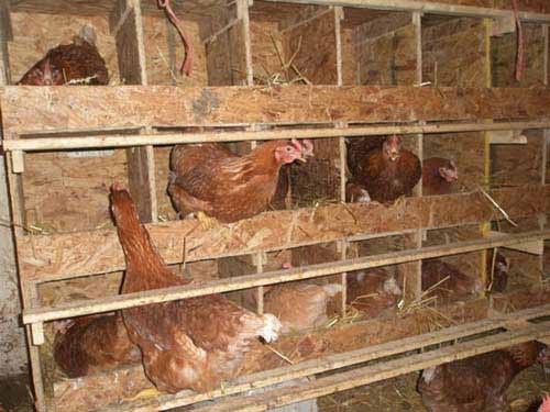 Размеры гнезд для кур несушек