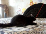 кот мейн-кун Hugh(Хью)Rysenok черный MCO (n)- Свободен